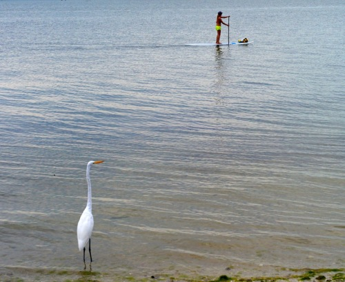 he Great White Egret observes a standup paddleboarder gliding by. Gulf of Mexico, Florida. Paul Goldfinger. 2013. Left click for a bigger bird.