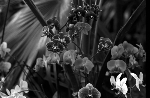 "Phalaenopsis--the ""moth orchid."" Bronx Botanical Gardens. By Paul Goldfinger. Copyright"