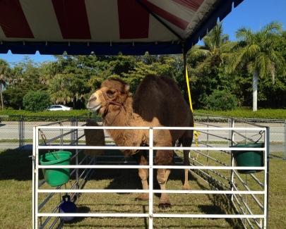 Fla camel