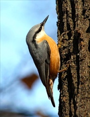 Eurasian nuthatch. Ours did not have the reddish belly. The upper part was blue-gray.