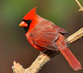 Classic male northern cardinal.  Internet photo