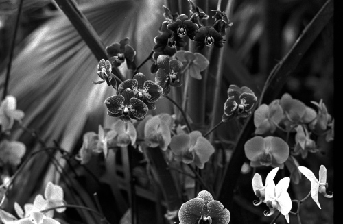 Bronx, New York. Orchids. By Paul Goldfinger ©