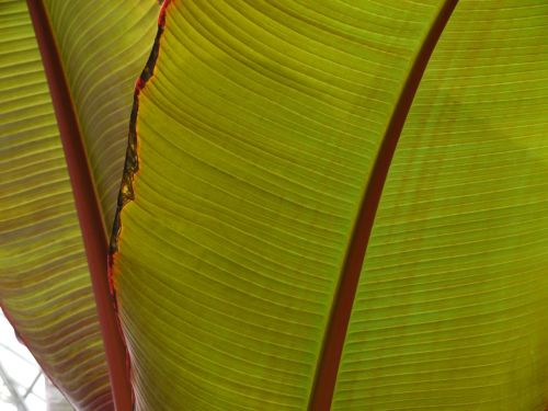 Banana tree leaf at Longwood Gardens.  By Eileen Goldfinger. September 2013. ©