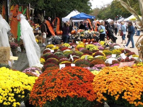 Mums the word at the OG Harvest festival.  All photos by Carl Hoffman.