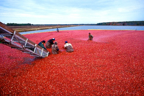 Cranberry bog. nchip.uga.edu
