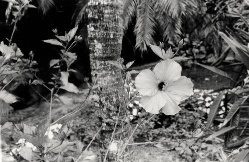 Hibiscus.  Sanibel Island, Florida. by Paul Goldfinger ©.   left click