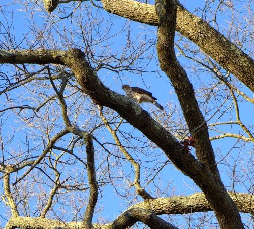 Cooper's Hawk on Delaware Avenue.  Paul Goldfinger photo. Dec.28, 2013.