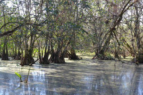 Corkscrew Sanctuary wetlands with cypress trees. Paul Goldfinger photo © 2014.