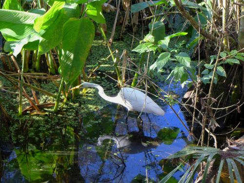 Corkscrew Sanctuary in Naples, Fla. Egret hunts for prey. Jan. 2014. Paul Goldfinger photos ©