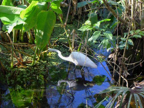 Corkscrew Sanctuary in Naples, Fla. Egret hunts for prey. Jan. 2014. Paul Goldfinger photos ©