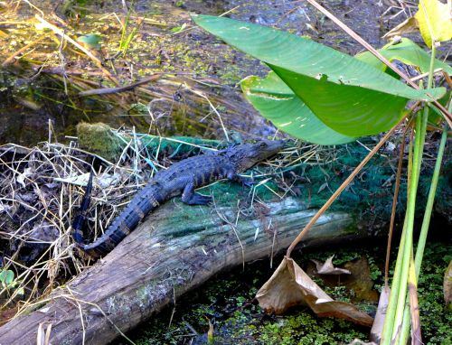 Baby alligator. Click left for bigger view. Corkscrew refuge. 2014 ©