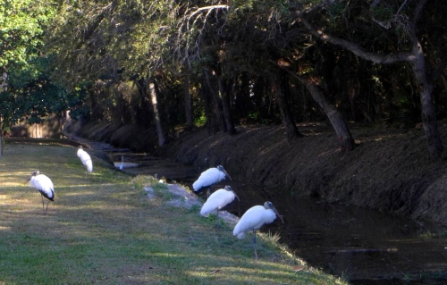 Five wood storks in the wild. Ft. Myers, Fla. Paul Goldfinger photo. Click left