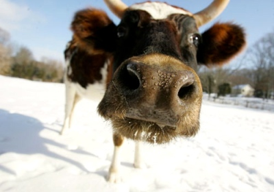 "Frozen cow says, ""Moo…Wassup?"