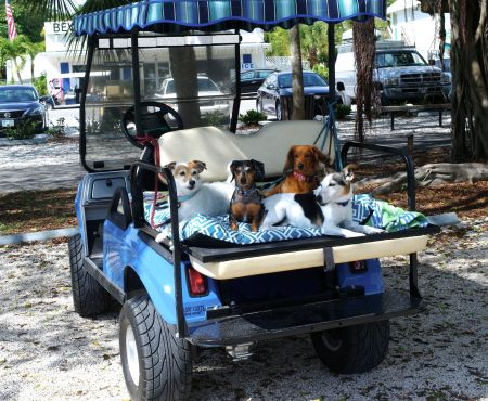 Pampered dogs get chauffeured around in a golf cart. ©