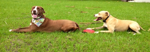 Diesel (L) and Chico (now a Grover dog) relax at the Channelside Dog Park in Tampa, Fla.  Photo by Moe Demby