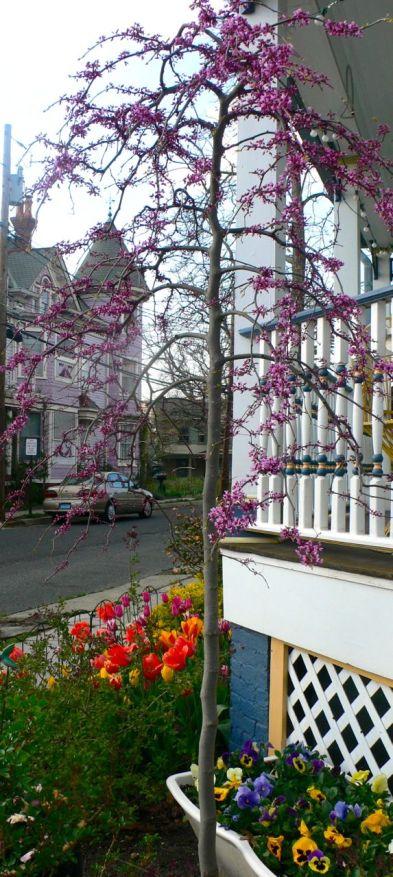 Lavender Twist Redbud. Photos by Miss Pegi. May, 2014.