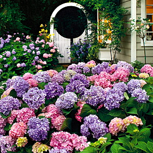 Hydrangea. From Southernliving.com