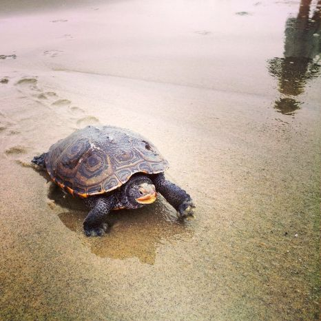 Sea turtle photographed near the Fishing Pier by Anastasia Pleasant. May 15, 2014. ©