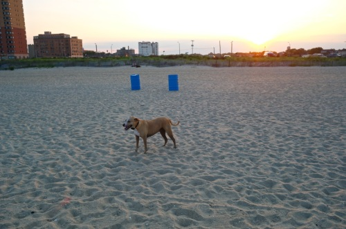 Sundown. Chico hates to leave. Paul Goldfinger photo. Asbury Park dog beach. July 12, 2014.