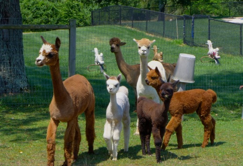 Alpaca are curious, affectionate and social animals originally from Peru.  Arrow Acres Farm.  Paul Goldfinger photo ©