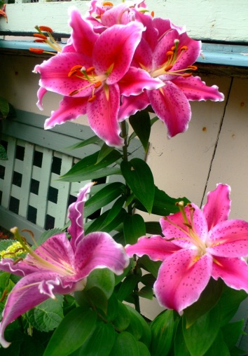 Oriental lily in Ocean Grove.   By Miss Pegi.