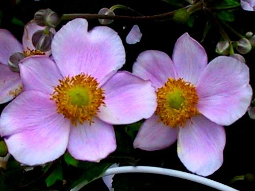 Fall Anemone