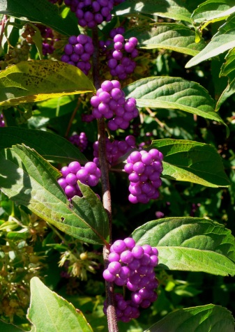 Beauty Berry 2014