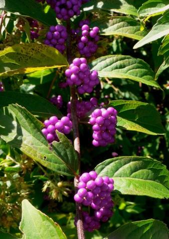 Beauty Berry 2014