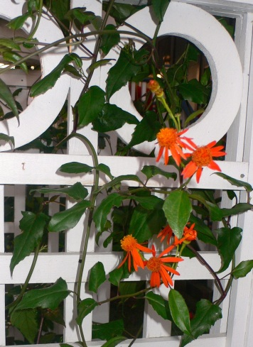 Mexican Flame Vine on Trellis 2