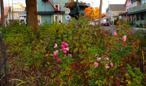 Last roses of Ocean Grove. Nov. 12, 2014. Paul Goldfinger photo.©
