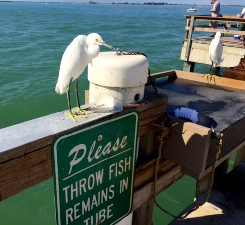 Lee County provides for all sorts of fishermen, including this snowy egret. Eileen Goldfinger photo
