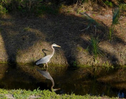 Great Blue Heron. Fort Myers. Florida. ©