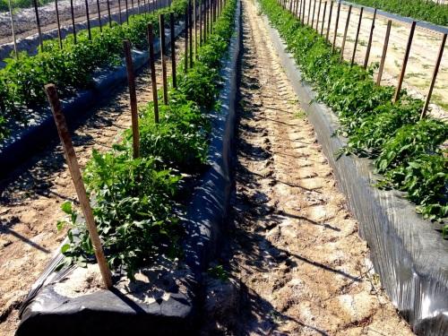 Tomato plants in designer soil.  Blogfinger photo ©