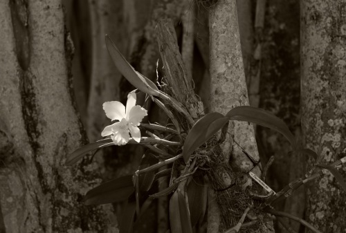 Wild white orchid. Edison Estate. Ft. Myers, Fla. 2013. By Eileen Goldfinger ©