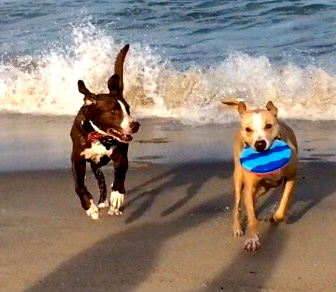Deisel (L) and Chico, two OG dogs, frolic at the Asbury after-hours north beach.  Blogfinger photos. ©