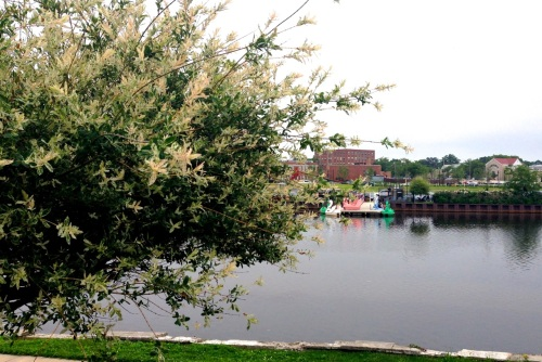 David Philo's Asian Willow tree overlooks Wesley Lake. Note that the swan boats have returned.  Blogfinger.net photo 6/20/15