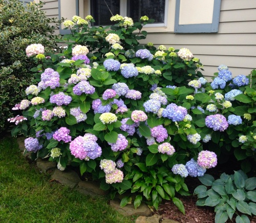 Hydrangea busting out in an OG garden on Asbury Avenue. Blogfinger photo June 20, 2015.