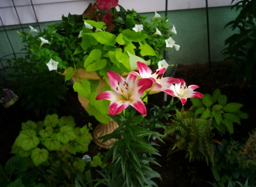 Eileen Goldfinger's Asiatic Lollypop lilies. Blogfinger.net  photo ©