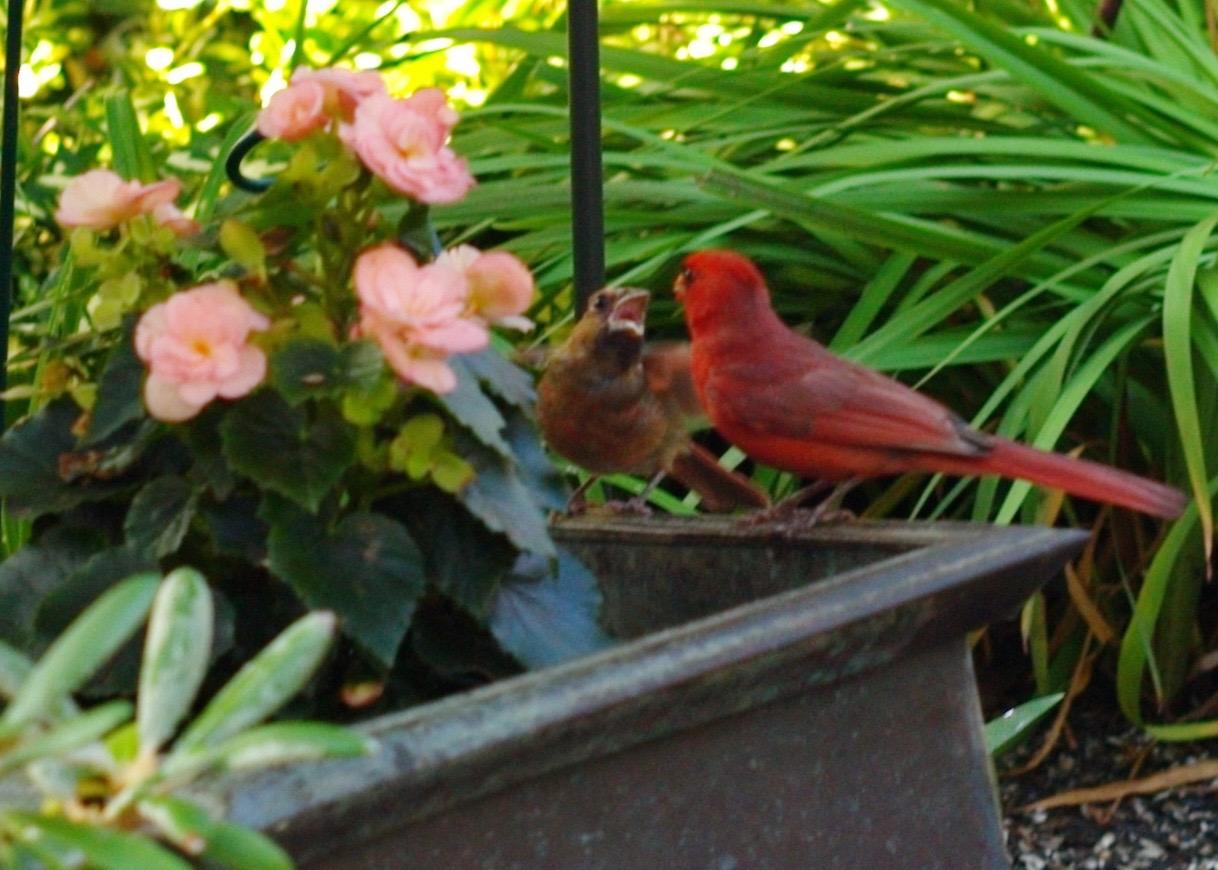 ocean grove backyard birding blogfinger