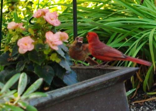 A family of cardinals visit us regularly.  This male feeds a baby.  Paul Goldfinger photo. © Click to enlarge.
