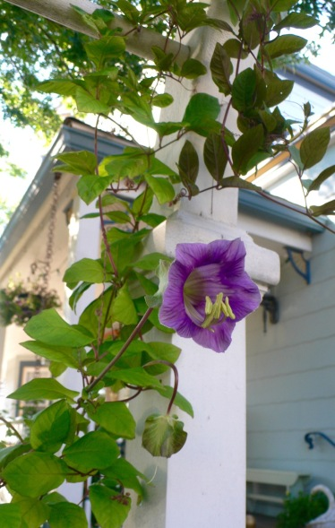 Cup and Saucer Vine. Ocean Grove. Photo by Pegi Costantino. ©