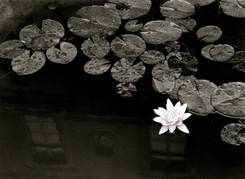 Lilly flower.  Paris.  Silver gelatin darkroom print.  By Paul Goldfinger © Blogfinger.net