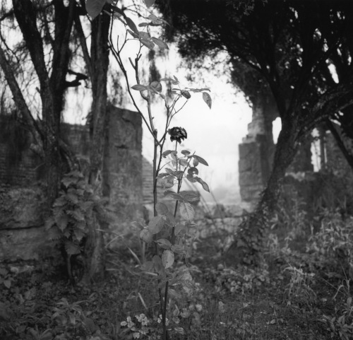 In a country churchyard, the last rose of summer. Cirque la Popie, southwestern France. By Paul Goldfinger. © Blogfinger.net