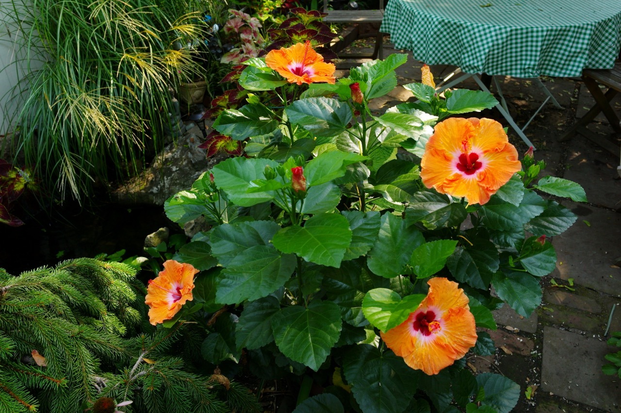 miss pegi gets it right re hibiscus plant management in the grove blogfinger. Black Bedroom Furniture Sets. Home Design Ideas