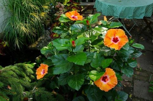 Tropical hibiscus plant in Eileen's Ocean Grove garden. August 19, 2015 ©