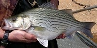 Hybrid striped bass. Internet photo.
