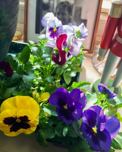 Some of Pegi's pansies. Photo by Moe Demby Blogfinger staff. 4/10/16