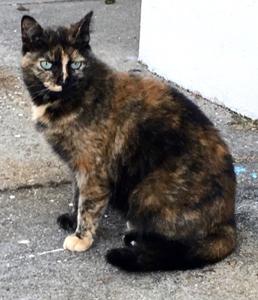 This is a better picture and we can pet her she has blueish green eyes and is frightened outside. Thank you so much for helping.  Corey photo.