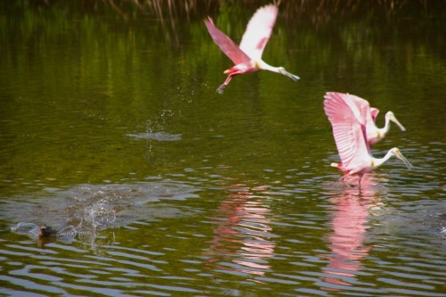 Roseate Spoonbills at the Ding Darling Wildlife Refuge on Sanibel Island, Florida c 2012. By Eileen Goldfinger ©