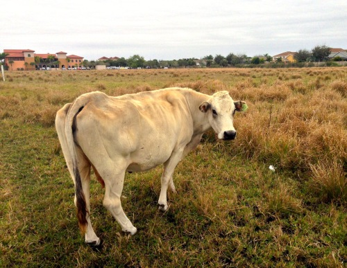 WASSUP? Cow. Udderwise known as mooovon.cow